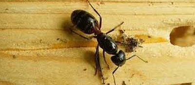 Ants Control Bonython