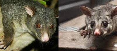 Possum Removal Bonython