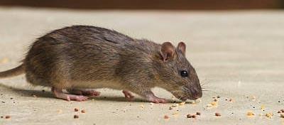 Rodent Control Bonython